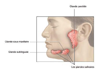 Glande Salivaire